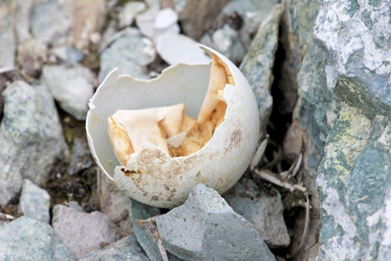 Het ei van de Gentoopinguïn in Antarctisch Schiereiland royalty-vrije stock fotografie