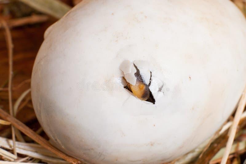 Het ei van Pipping stock foto's