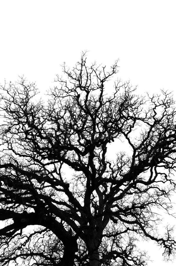 Het eiken silhouet van boomtakken stock afbeelding