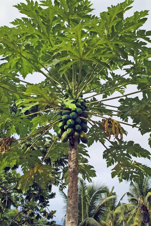 Het Eiland van Fiji, Plantkunde stock afbeelding