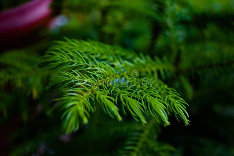 Het Eilandpijnboom van Norfolk stock foto's