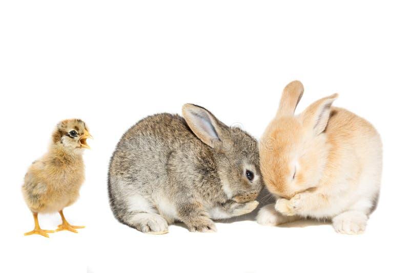 Het eiwitachtergrond van de konijnkip stock fotografie