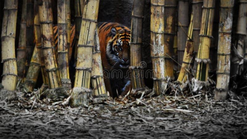 Het enge tijger verbergen in bamboe royalty-vrije stock fotografie