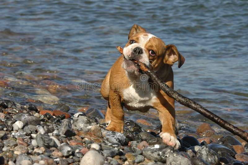 Het Engelse het puppy van de Buldog spelen op het strand stock afbeelding