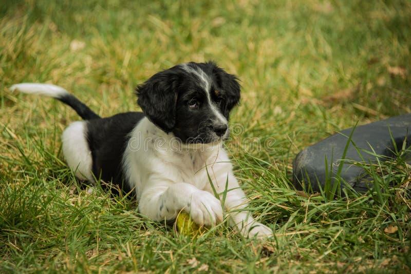 Het Engelse het puppy van Zetter Australische Shepard spelen met stuk speelgoed bal op groen gras stock fotografie