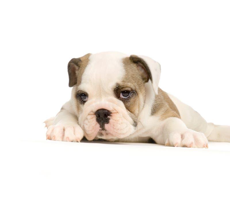Het Engelse puppy van de Buldog stock afbeelding