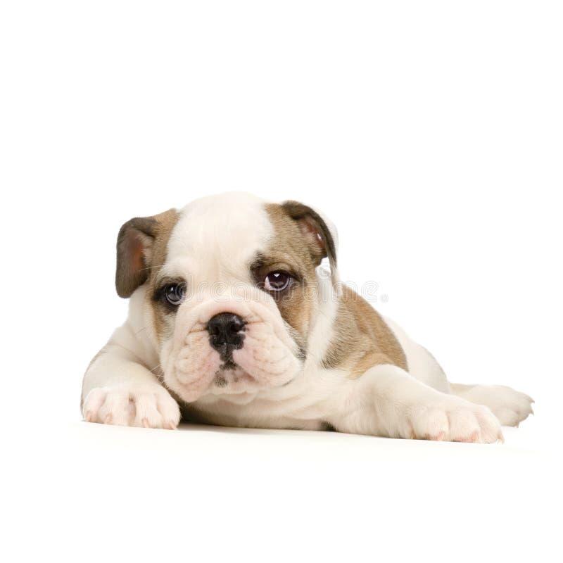 Het Engelse puppy van de Buldog stock foto's