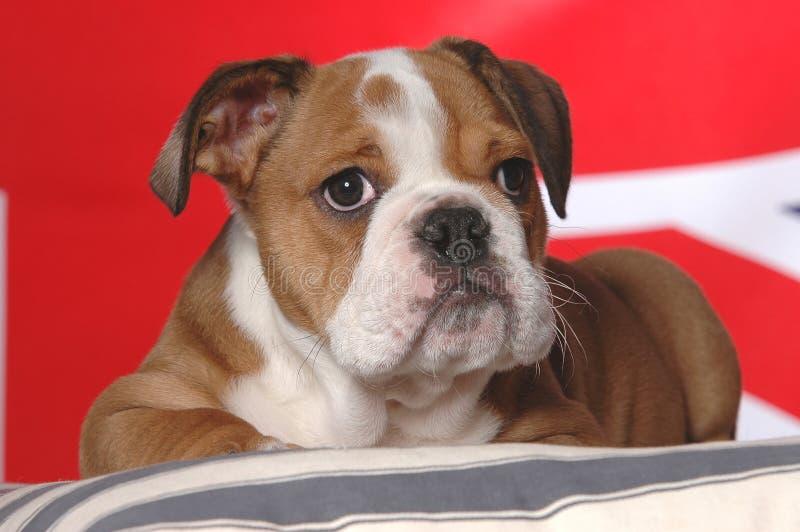 Het Engelse puppy van de Buldog royalty-vrije stock afbeelding