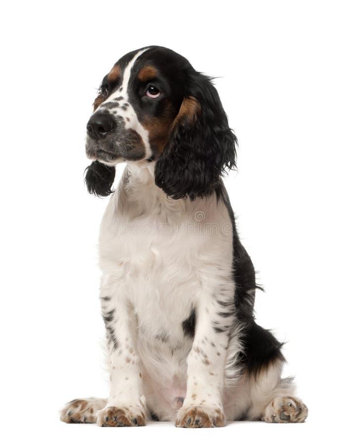 Het Engelse puppy van de Cocker-spaniël, 4 maanden oud royalty-vrije stock foto's
