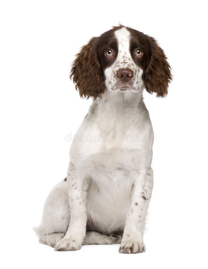Het Engelse puppy van het Spaniel van de Aanzetsteen (4 maanden) stock foto
