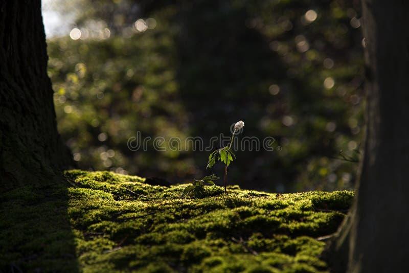 Het enige houten de Anemoonnemorosa van de anemoonbloem groeien in mos is royalty-vrije stock afbeeldingen