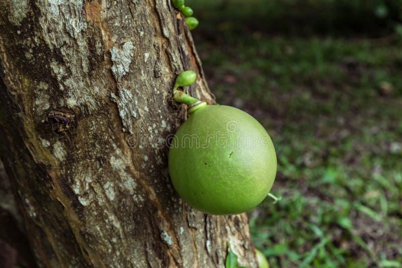 Het enige pompoenkalebasboom hangen van de boomstam stock afbeeldingen
