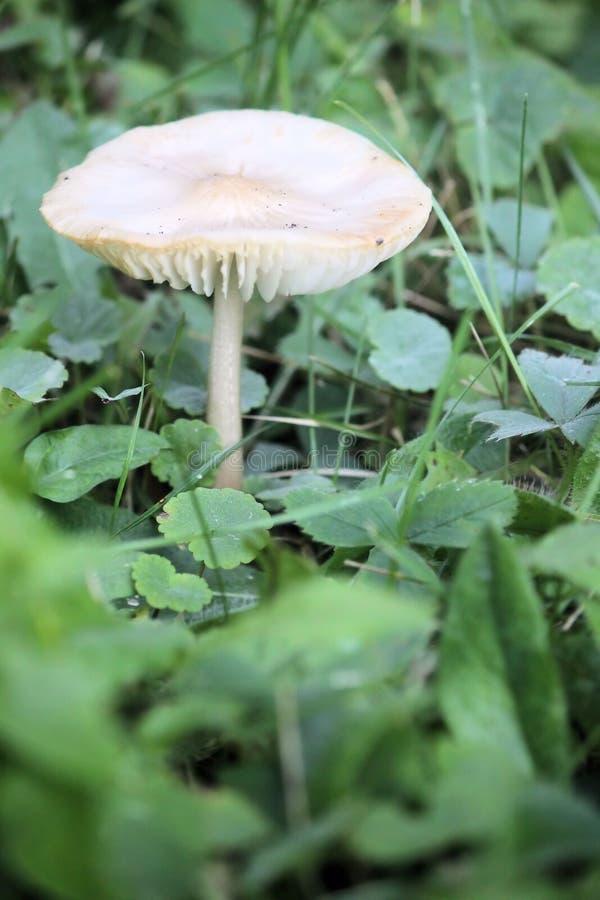 Het enige wilde paddestoel groeien in het groene gras stock afbeeldingen