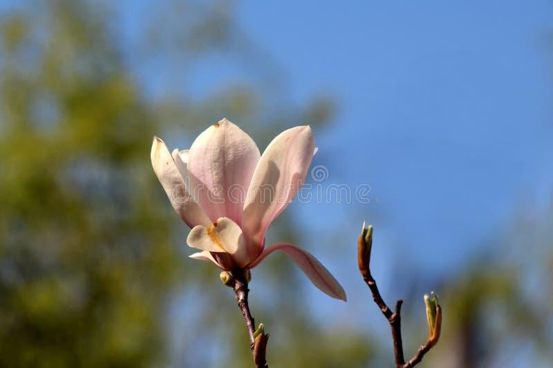 Het enige wit met de lichtpaarse bloem van de bloemblaadjesmagnolia bovenop boomtak naast kleine tak met gesloten bloem ontluikt  royalty-vrije stock afbeelding