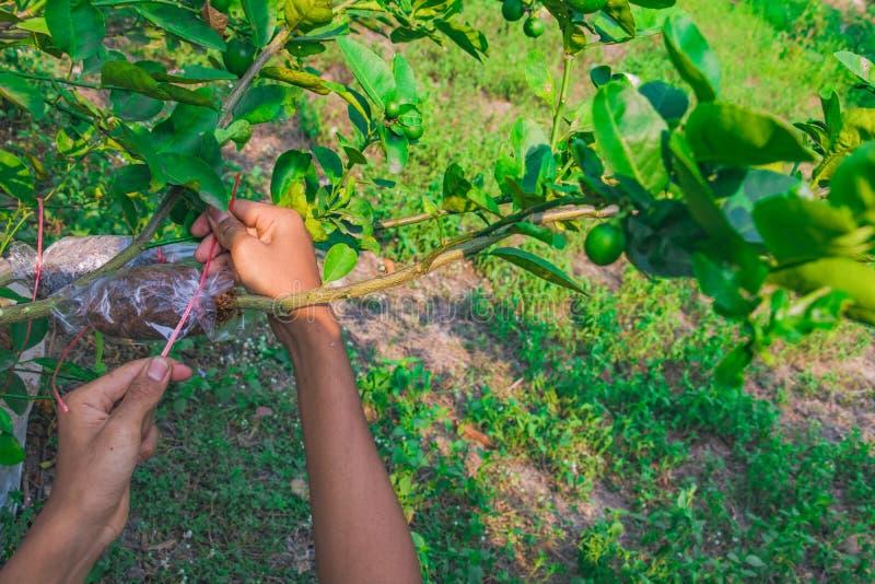 Het enten van tak is citroenboom royalty-vrije stock foto's