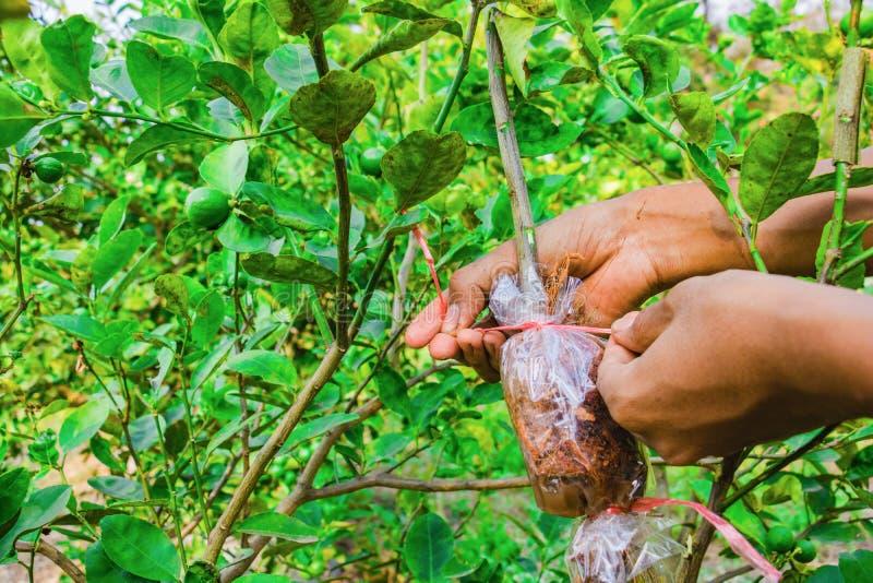 Het enten van tak is citroenboom stock afbeeldingen
