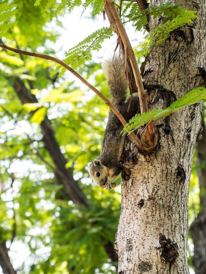 Het eten squirrele stock fotografie