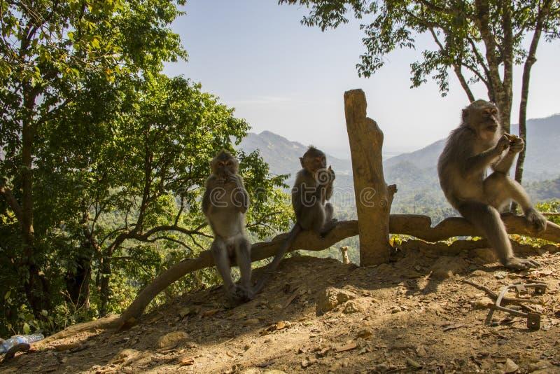 Het eten van apen stock afbeelding