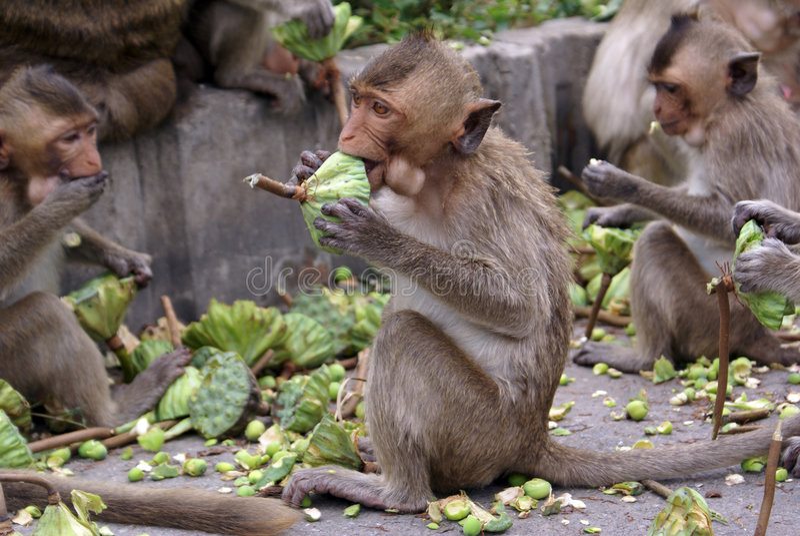 Het eten van apen stock foto