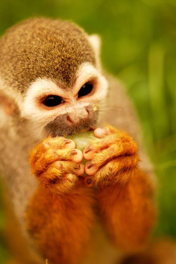 Het eten van de aap royalty-vrije stock fotografie