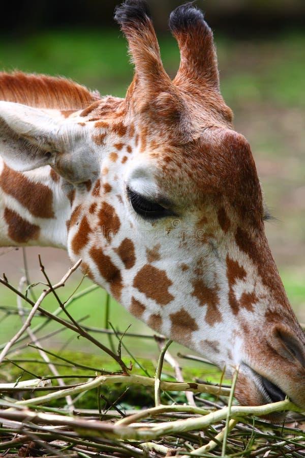 Het Eten van de giraf royalty-vrije stock afbeelding