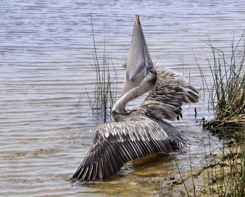 Het Eten van de pelikaan stock afbeelding