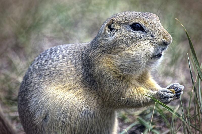 Het eten van Groundhog royalty-vrije stock fotografie