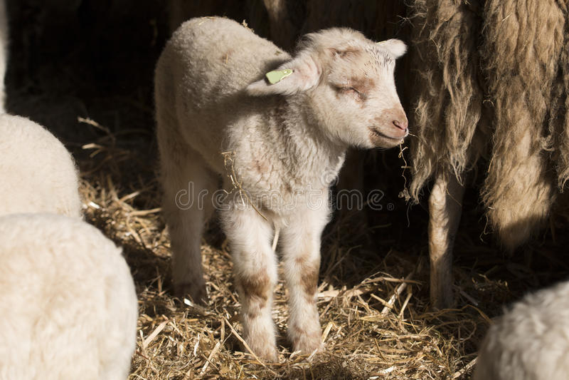 Het eten van het lam stock fotografie