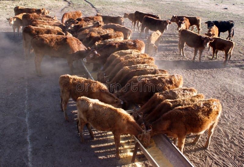 Het eten van het vee stock afbeeldingen