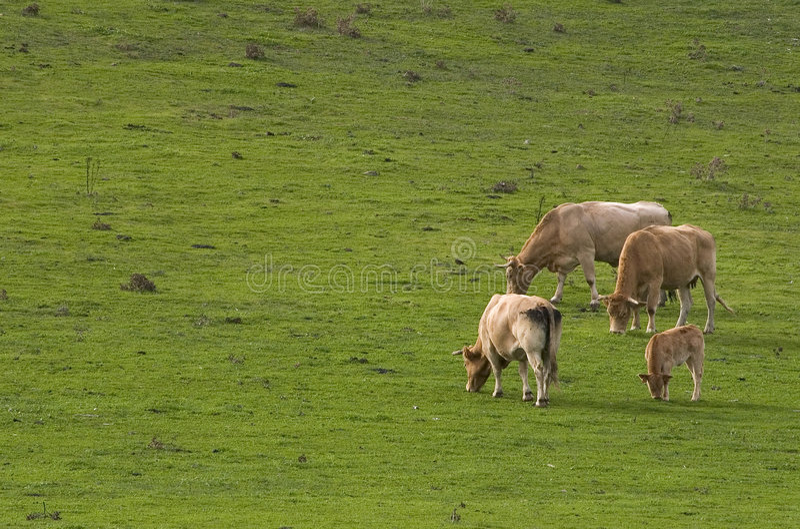 Het eten van koeien royalty-vrije stock foto