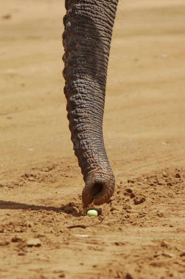 Het eten van Olifant stock foto