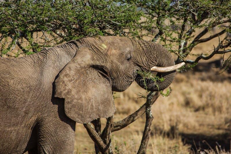 Het eten van olifant stock fotografie