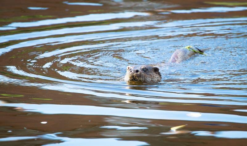 Het Europees-Aziatische lutra van otterlutra zwemmen royalty-vrije stock foto's