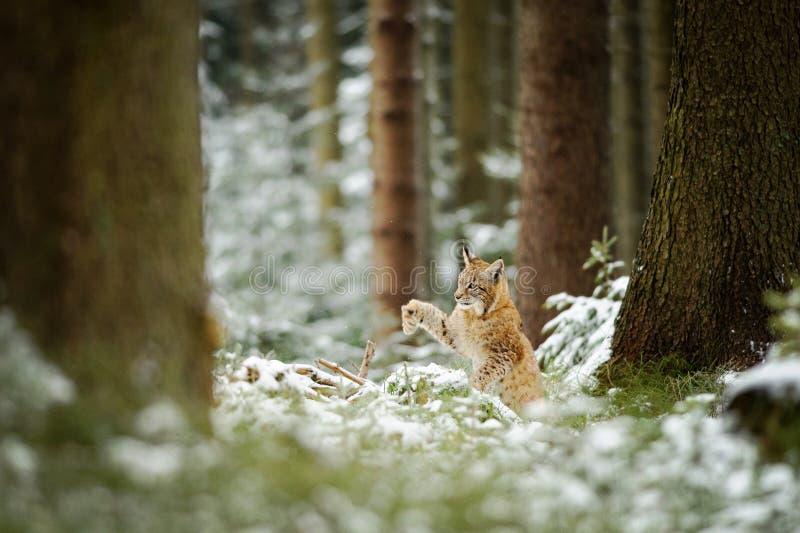 Het Europees-Aziatische lynxwelp schudden onderaan sneeuw van poot royalty-vrije stock foto
