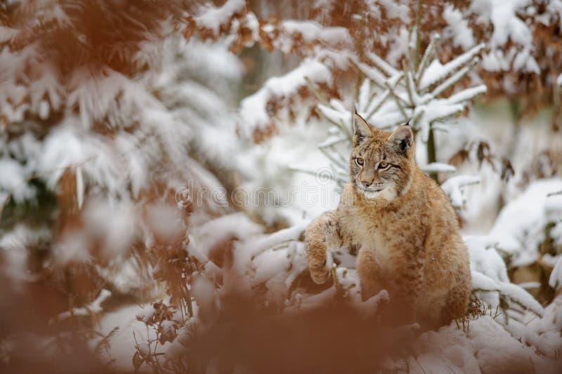 Het Europees-Aziatische lynxwelp schudden onderaan sneeuw van zijn poot in de winterbos stock foto's