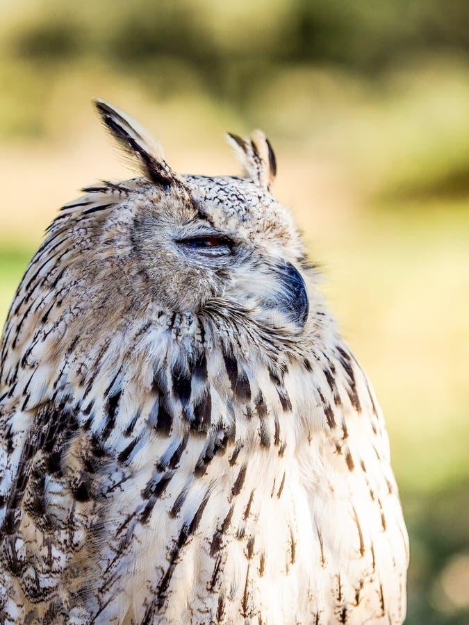 Het Europees-Aziatische scops-Uil letten op voor prooi in het hout die vogels jagen royalty-vrije stock fotografie