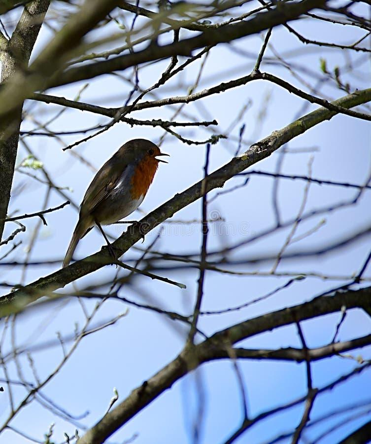 Het Europese zingen van Robin op boomtak stock foto's