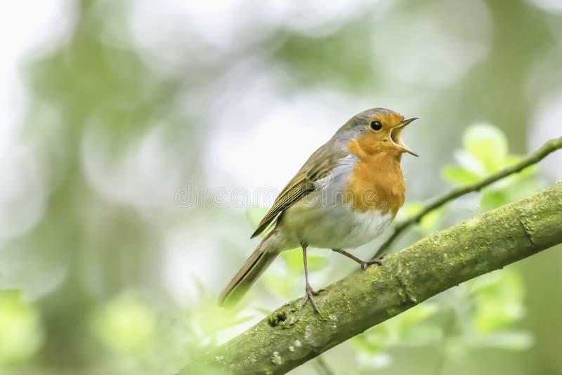 Het Europese zingen van Robin op boomtak stock afbeeldingen