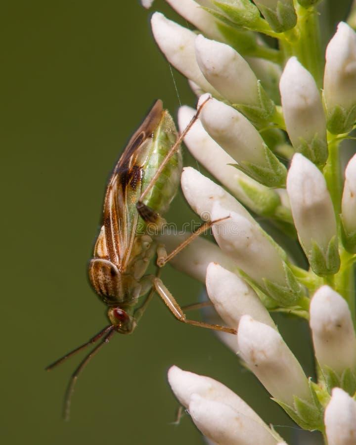 Het extreme close-upportret van wat schijnt te zijn species van stinkt insect - insect dat in Minnesota wordt genomen royalty-vrije stock foto