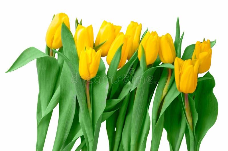 Het feestelijke boeket van gele tulpen sluit omhoog geïsoleerd op witte achtergrond stock foto