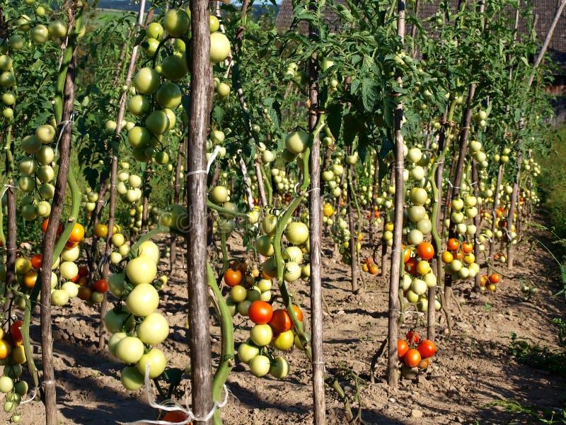 Het flard van de tomaat royalty-vrije stock afbeeldingen