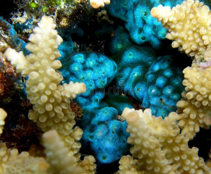 Het fluorescente Blauwe Voeden van Manteldieren royalty-vrije stock afbeeldingen