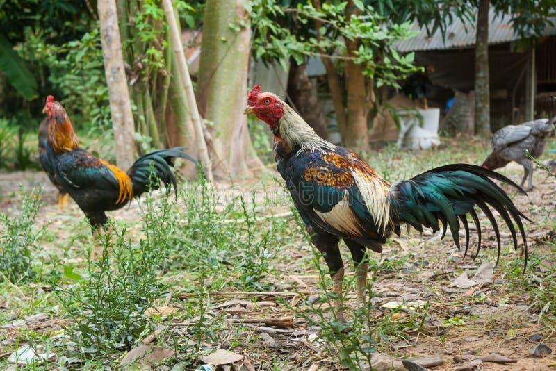 Het fokken van Thailand het vechten hanen stock foto
