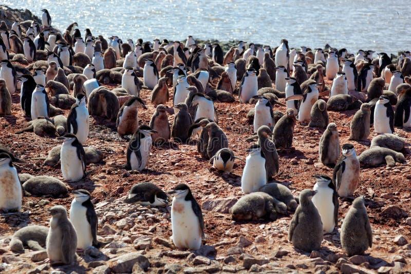 Het fokkenkolonie van de Chinstrippinguïn, Antarctica stock fotografie