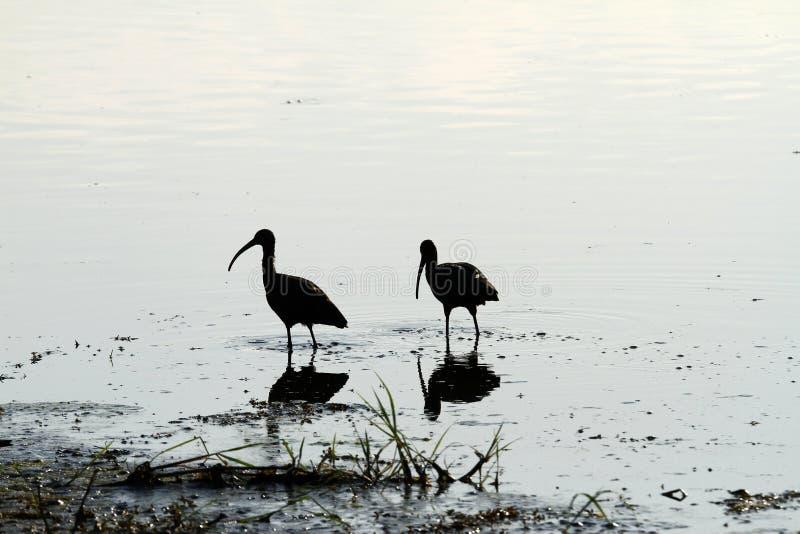 Het fokkenpaar van Glanzende Ibis stock afbeelding