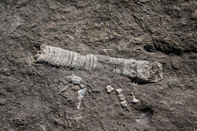 Het fossiel van de Crinoidstoom stock foto's