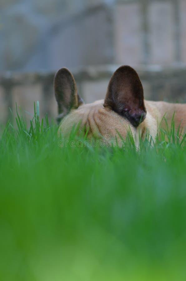 Het Franse Buldog verbergen in het gras met knuppeloren stock afbeeldingen