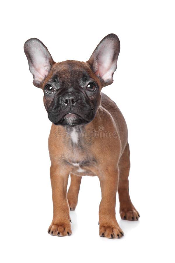 Het Franse puppy van de Buldog royalty-vrije stock afbeelding