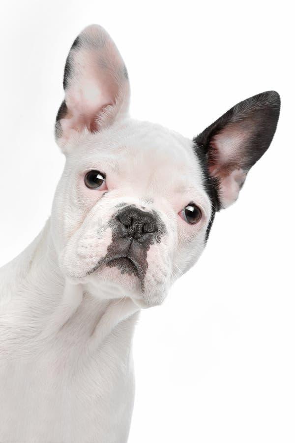 Het Franse puppy van de Buldog stock afbeeldingen