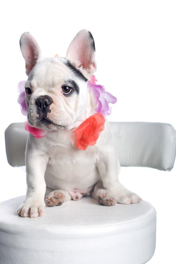 Het Franse Puppy van de Buldog stock afbeelding